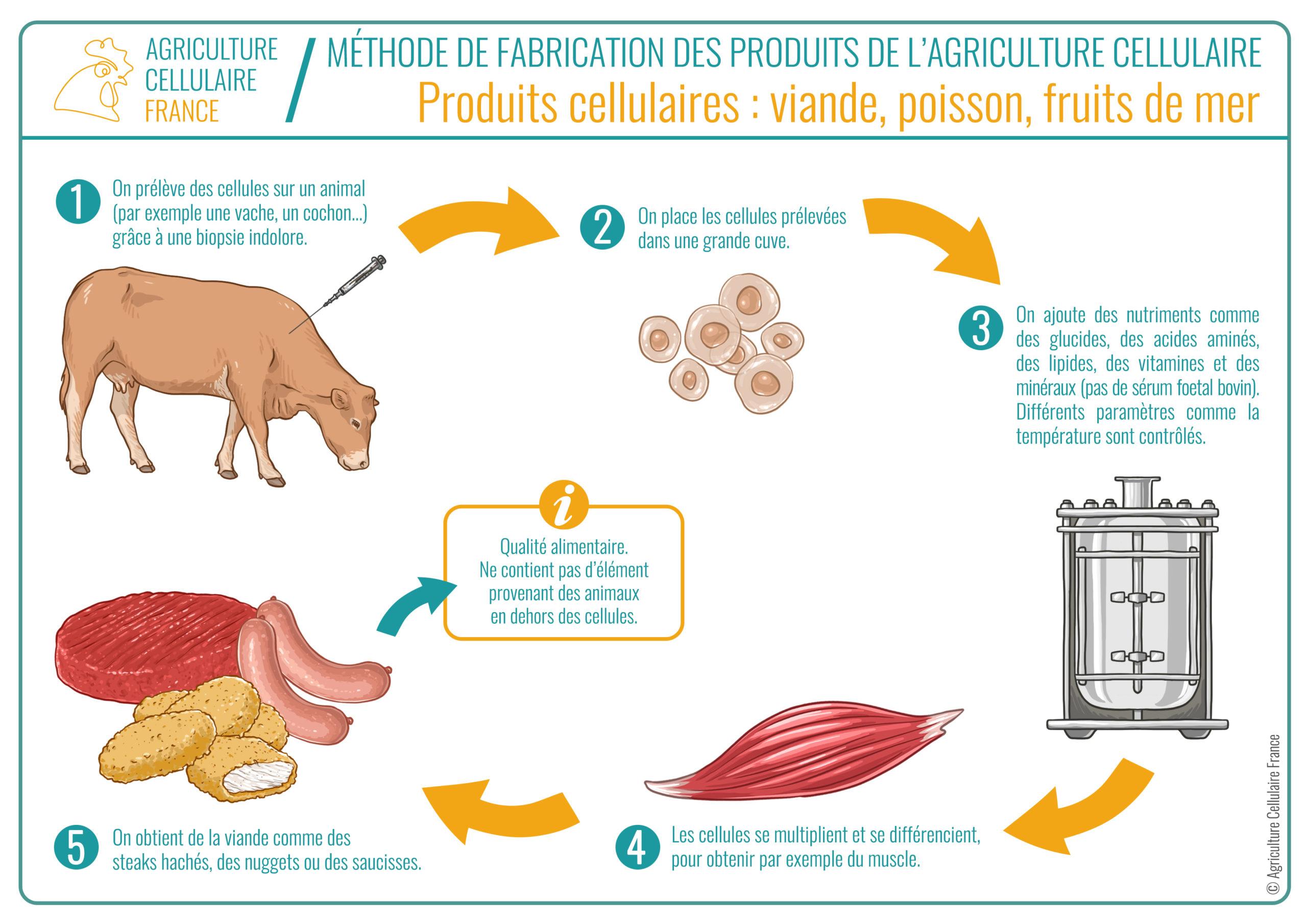 Processus viande cultivée